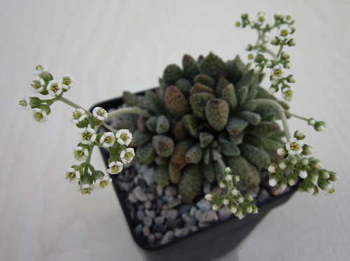 Crassula ausensis ssp. titanopsis by juan_y_ana
