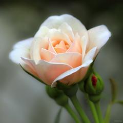 Rose for VU LAN's Day (-clicking-) Tags: lighting light flower macro nature floral rose closeup garden petals flora dof natural blossom bokeh ngc npc bloom rosary mothersday blooming hoahng languageofflowers vietnameseflowers flickrstruereflection1 vulansday