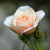 Rose for VU LAN's Day (-clicking-) Tags: lighting light flower macro nature floral rose closeup garden petals flora dof natural blossom bokeh ngc npc bloom rosary mothersday blooming hoahồng languageofflowers vietnameseflowers flickrstruereflection1 vulansday