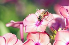 Пчела 03