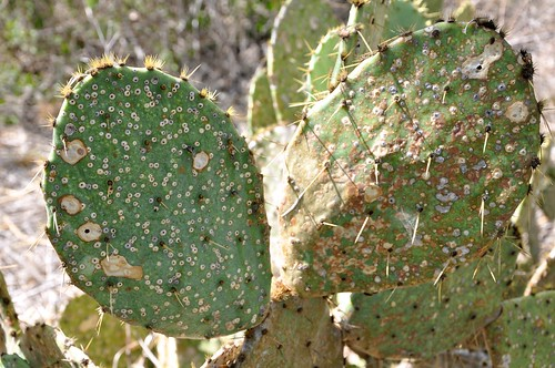 Prickly Pear in Drought
