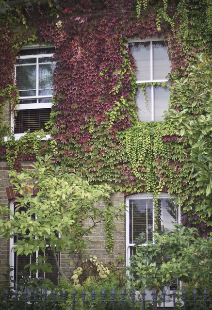 Ivy - near Wandsworth Common