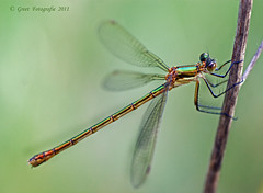 Lestes sponsa (Greet N.) Tags: insect pond dragonfly waterjuffer vijver
