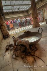 Rat scene at the Karni Mata temple HDR (Sandro_Lacarbona) Tags: voyage trip travel india temple milk rat tail queue lait backpacker mata hdr sandro bikaner rajasthan inde deshnok routard tourdumonde karni tetedechatcom lacarbona