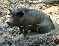 Scary pig in mud