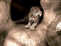Magnificent but sad (~ rohit) Tags: india animals cat canon zoo cheetah jaguar hyderabad flickraward