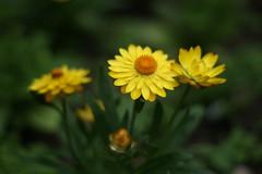 In full bloom (hobbitbrain) Tags: flower london yellow flowerscolors pidici