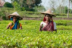Picking Tea Outside Srimongal, Bangladesh (uncorneredmarket) Tags: people women tea bangladesh teagardens teaestates manuallabor srimongal teaplantations ruralbangladesh teapickers sylhetdivision sreemangal