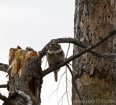 "Northern Hawk-Owl • <a style=""font-size:0.8em;"" href=""http://www.flickr.com/photos/63501323@N07/5924162561/"" target=""_blank"">View on Flickr</a>"