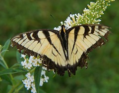 Battles Won (Misty DawnS) Tags: black nature yellow butterfly bug insect wings poetry poem missouri butterflybush tigerswallowtail naturephotography sonya580