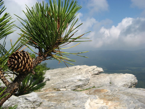 Pinecones at McAfee Knob
