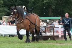 DSC_5532-74 (Ton van der Weerden) Tags: horses horse de cheval pulling nederlands belges draft chevaux belgisch trait neerpelt trekpaard trekpaarden trekwedstrijd vlaamstrekkampioenschapneerpelttrekken