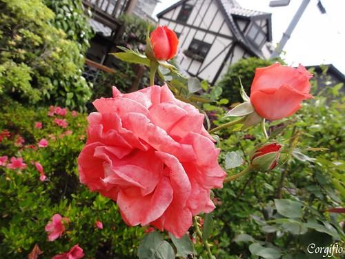 blog-110713-ROSE