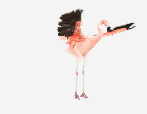 Flying-Flamingo_545