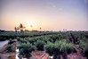 Jardins de la Ménara (cranjam) Tags: morocco marocco marrakech hdr olivegrove menara oliveto qanat menaragardens abdalmumin giardinidellamenara jardinsdelaménara