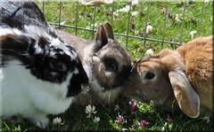 My bunny rabbits (Niseag) Tags: bunnies garden islay jura trio rabbits arran netherlanddwarf lops
