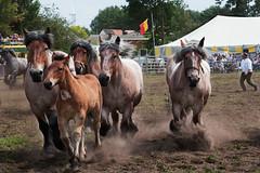 trekpaardenhappening -2- (Jan 1147) Tags: horses belgium action event happening horsepower paarden actie evergem paardenkracht trekpaardenhappening