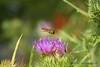 Incoming.... (law_keven) Tags: flower macro green canon purple creative bee title honeybee savebeautifulearth