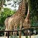 Maior que o urso polar, so as girafas mesmo