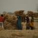 Camponeses trabalhando na colheita do trigo