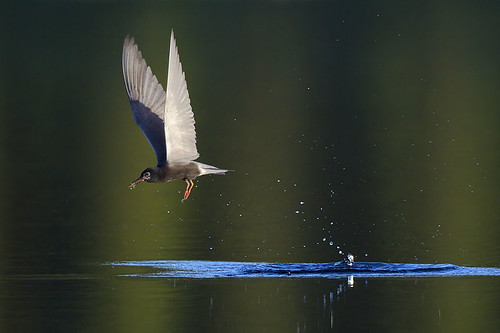 Fishing Black Tern by Jeff Dyck