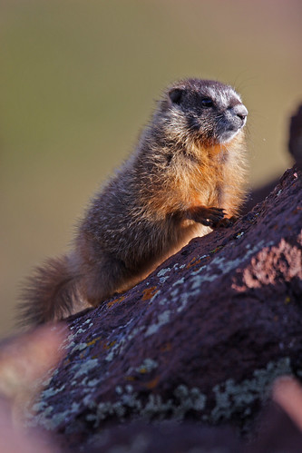 Yellow-bellied marmot-4.JPG