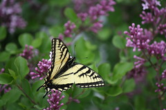 Canadian Tiger Swallowtail, Papilio canadensis (Chalicerae) Tags: macro canon bug insect wings insects hobby lepidoptera naturist canonlens amateurlepidopterist