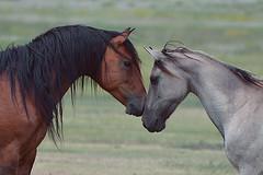 Spirit of the Mustang * (wellscenephotography (ON)) Tags: horse cute love beautiful animals southdakota wow nikon mare bond mustang stallion wildmustang flickraward spanishmustang d5100 flickraward5 mygearandme flickrawardgallery horsebodylanguage