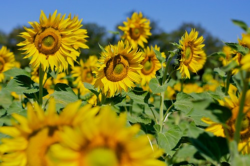 Sunflowers at La Cerqua