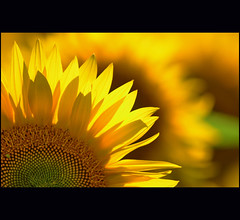 have a sunny day  :) (klaus53) Tags: light summer yellow nikon sunflowers blinkagain bestofblinkwinners stunningphotogpin