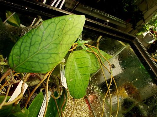 Hoya sp. 'Sumatra' IML 1012