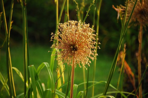 Dried Out Allium