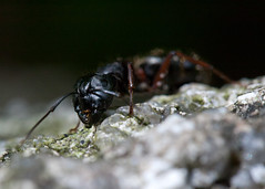 "The Hungry Ant • <a style=""font-size:0.8em;"" href=""http://www.flickr.com/photos/30765416@N06/5947718815/"" target=""_blank"">View on Flickr</a>"