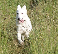 Pup On The Run (Lady Of The Hounds) Tags: