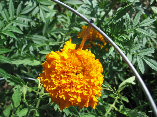 african crackerjack marigold