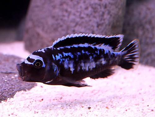 "Metriaclima sp ""msobo"" 'Magunga Reef'"