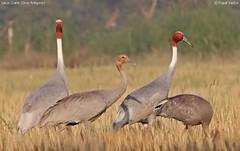 The Family Portrait - Sarus Crane (vaidyarupal) Tags: wild india nature birds canon crane sigma avian gujarat ahmedabad grus antigone kheda gruidae sarus vaidyarupal 150500mm 1000d rupalvaidya