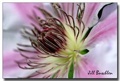 Clematis (Jill's Junk) Tags: ontario flower macro dragonfly clematis backlit excellence jillsjunk