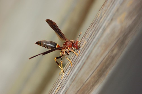 Polistes annularis my favorite of all paper wasps.