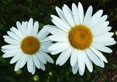 zwei Gnseblmchen, dos Margaritas, deux marguerites, two daisies (papa soji) Tags: flowers leaves shrooms pods supershot coth5 hennysgardens
