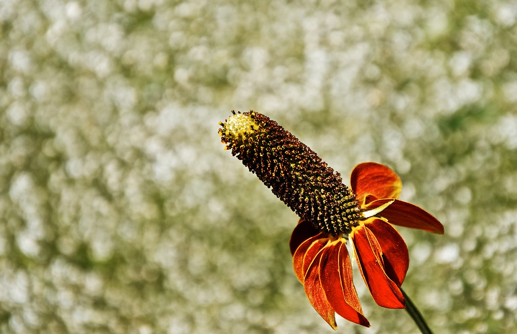 Mexican Hat Flower 2