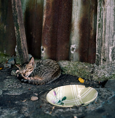 cat and her food bowl (loo3*) Tags: 120 6x6 film cat square kodak pro taipei   schneider exakta kreuznach 160 80mm xenotar ektacolor exakta66