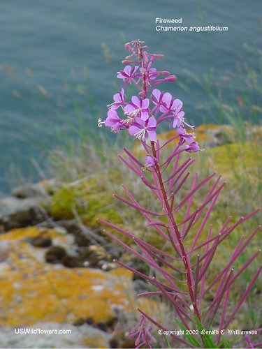 Fireweed, Willow Herb - Chamerion angustifolium