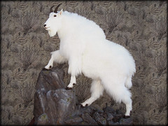 "Mt Goat Taxidermy • <a style=""font-size:0.8em;"" href=""http://www.flickr.com/photos/27376150@N03/5986905898/"" target=""_blank"">View on Flickr</a>"