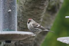 Mealy Redpoll ~ Acanthis flammea flammea ~ Weybourne Garden (Rowettia) Tags: birds norfolk weybourne mealyredpoll acanthisflammeaflammea weybournegarden