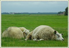 a day to slumber away... (rafischatz... www.rafischatz-photography.de) Tags: nature netherlands animals germany sheep pentax meadow northsea ostfriesland dollart emsland lowersaxony rheiderland k200d