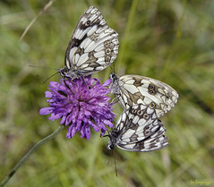 MELANARGIA GALATHEA (Pier * ( ON / OFF )) Tags: italy europa europe italia grace monaco piemonte valley piedmont piero pietro valleys gracekelly valli lanzo vallidilanzo chiaves arianoirpino principatodimonaco principautedemonaco aciel rivarolocanavese provinciaditorino monasterodilanzo valledeltesso loscugnizzo mygearandme valadedlansvallidilanzo