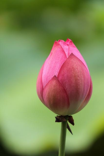 Beautiful pictures of lotus flowers bud mightylinksfo