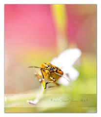 (Daniel Garcia Photography) Tags: macro canon insect bicho insecto zapatero wow1 chinche gerridae pyrrhocorisapterus 100l 40d hemptero canone