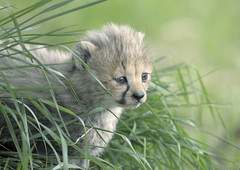 Cheetah cub in long grass (gentle lemur) Tags: cub cheetah chesterzoo acinonyxjubatussoemmeringii